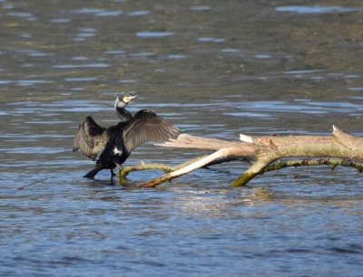 Cormorano (Phalacrocorax carbo)